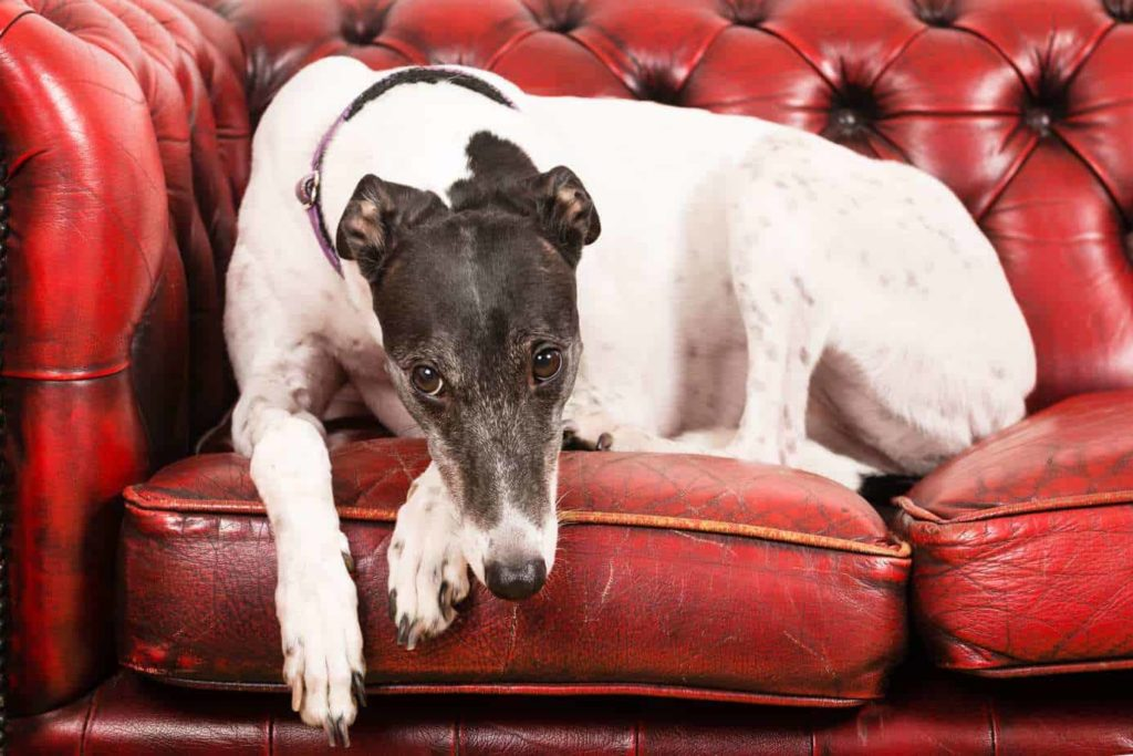 A greyhound relaxes on a red leather couch. The Greyhound is one of the low maintenance dog breeds