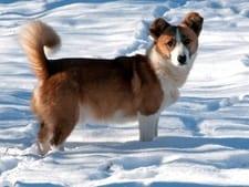 bushy dog tail