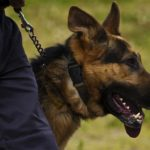 German shepherds are routinely used in law enforcement jobs.