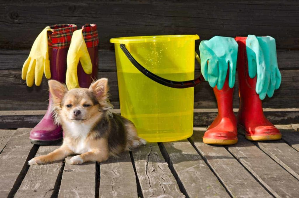 Chihuahua sits with supplies used to keep your home clean.