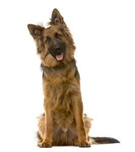 German shepherds are intelligent dogs that need mental and physical stimulation.