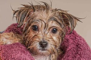 Small wet dog wrapped in a towel. Learn to avoid dog grooming mistakes.