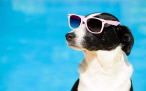 Use basic dog summer safety rules to keep your pup healthy in summer's heat. Make sure he always has lots of water and shade. Some dogs like this black and white mixed breed even enjoy wearing sunglasses to protect their eyes.