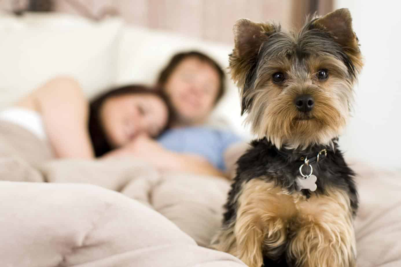 Millennials sleep as pet Yorkie keeps guard. Millennials choose dogs over kids due to cost.