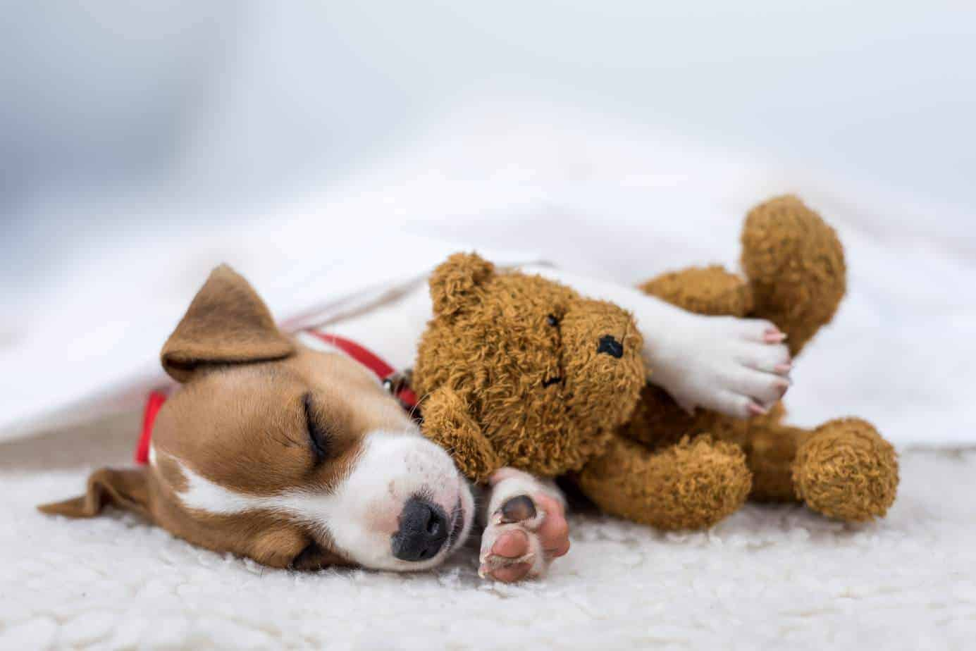 Science says sleep with your dog. Jack Russell terrier snuggles with his teddy bear.