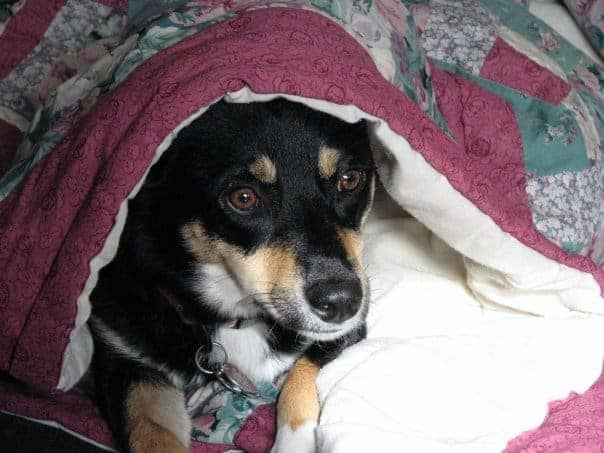 Science says sleep with your dog. Sydney, an Australian shepherd-corgi mix, creates a cozy nest with a bedspread.
