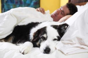 Science says sleep with your dog. Man sleeps with his border collie.