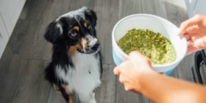 Shop smart for your dog by feeding him healthy food from a company like The Honest Kitchen. Woman feeds Australian shepherd food from The Honest Kitchen.