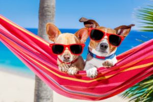 Dog summer safety: Help your dog stay cool like these chihuahuas wearing sunglasses and hanging out in a hammock.
