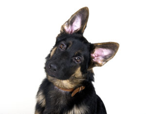 dog senses hearing