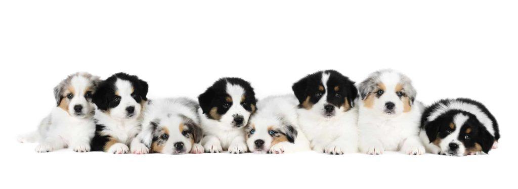 dog cloning