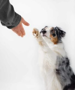 Cute Australian Shepherd holds up paw to shake. Dogs use their paws to communicate.