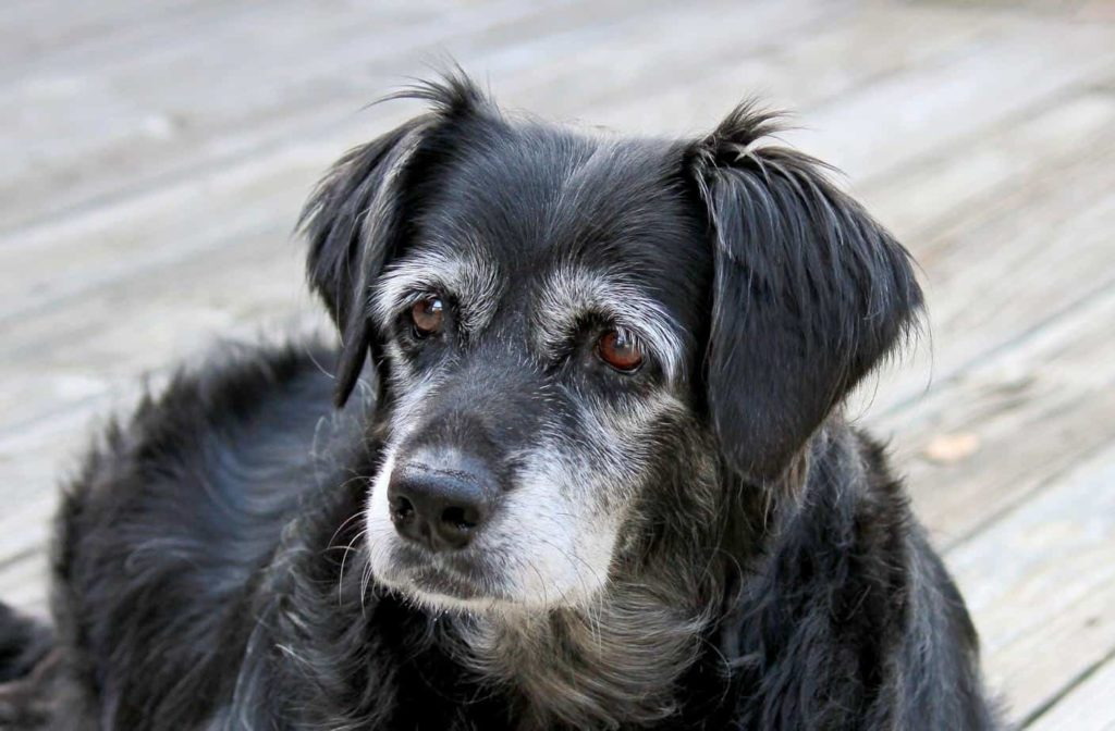 Canine urinary incontinence: Start by consulting with your veterinarian to determine the cause of the problem. Sometimes medication can treat the condition.