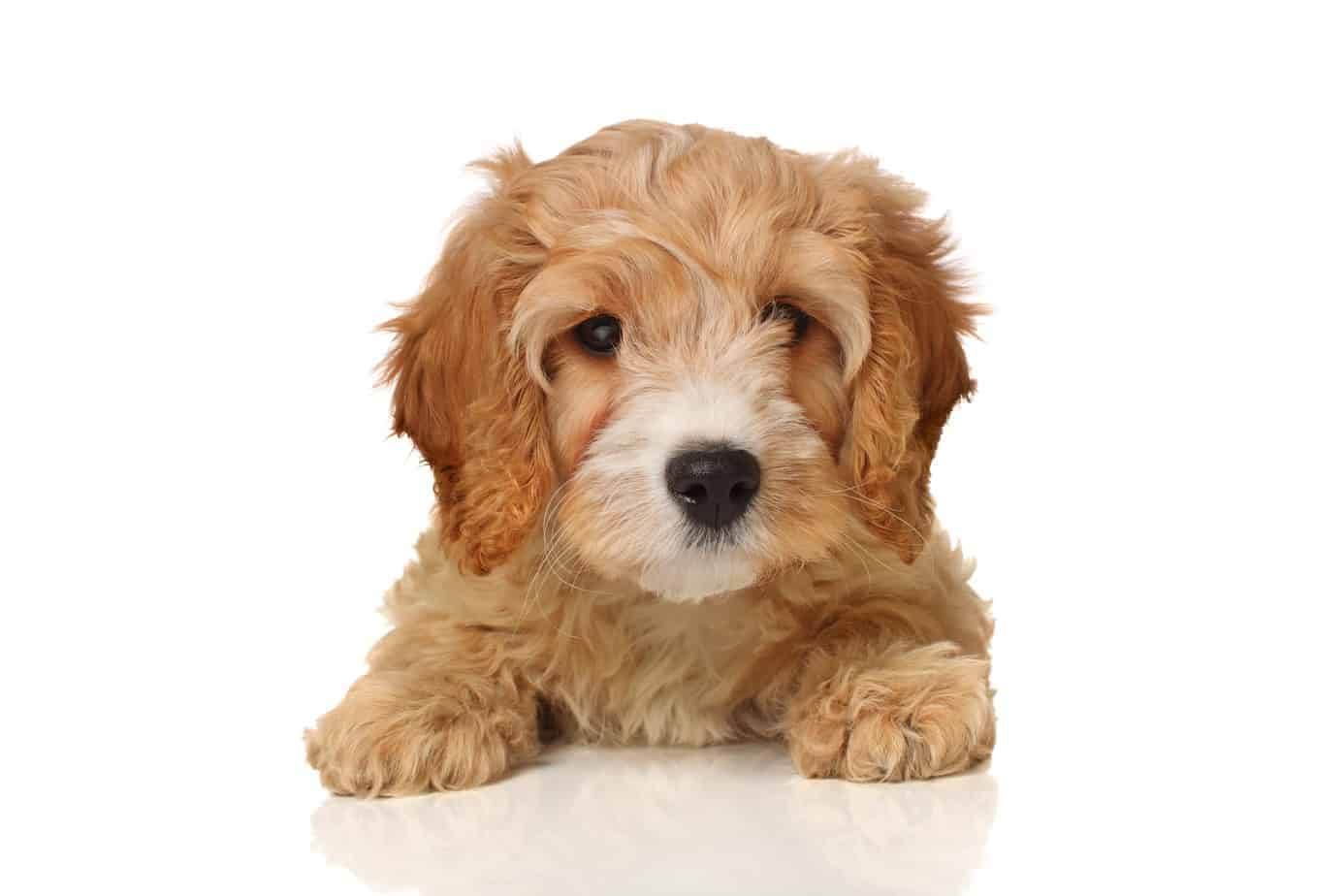 A Cavapoo or Cavoodle is a smart, friendly doodle dog with moderate exercise needs. This designer dog is a Cavalier King Charles spaniel-poodle crossbreed.