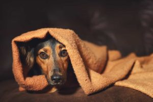 Cure dog separation anxiety with medication, treats and training. Nervous dog curls up in a blanket to reduce separation anxiety.