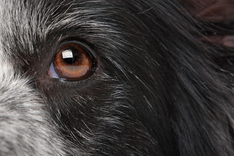 Closeup of a dog's eye. Some people incorrectly believe how dogs see limits them to only black and white. Instead,dogs see in color just not as well as people.