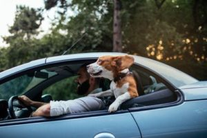 Beagle enjoys sticking head out the car window. Dog travel safety tips: Whether you're on a quick outing across town or a long road trip, your pet should always be restrained while you're behind the wheel.