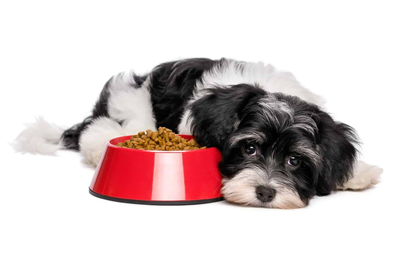 Cute Havanese puppy with dog food dish. Enzymes in dog food improve digestion by improving the absorption of nutrients, removing excess fat, and breaking down plant materials.