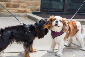Making new friends during walks is just one way dogs help owners adjust after a move. Black, furry dachshund gives a Cavalier King Charles Spaniel a kiss on a busy sidewalk.