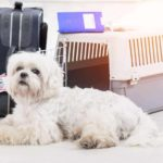 Flying with your dog: Be sure to crate train before your trip to ensure he's ready. Don't assume your dog will be fine with a new crate in a new environment with a lot of loud stuff going on all around them. Maltese appears nervous before getting crate for plane trip.