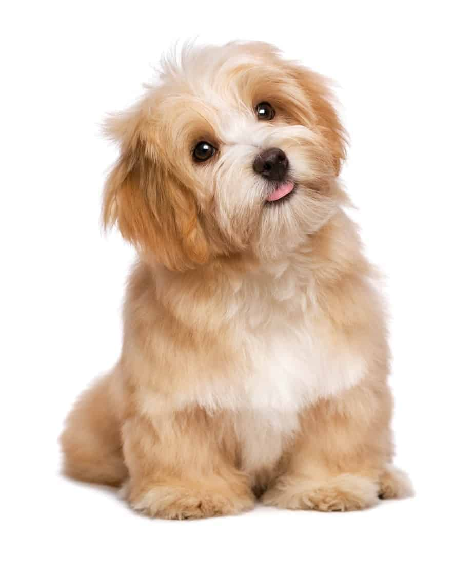 Puppy-proof your home to keep your new havanese puppy safe.