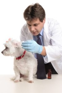 A male vet administering a dose of medicine drops into a dog's ears to treat a canine ear infection.