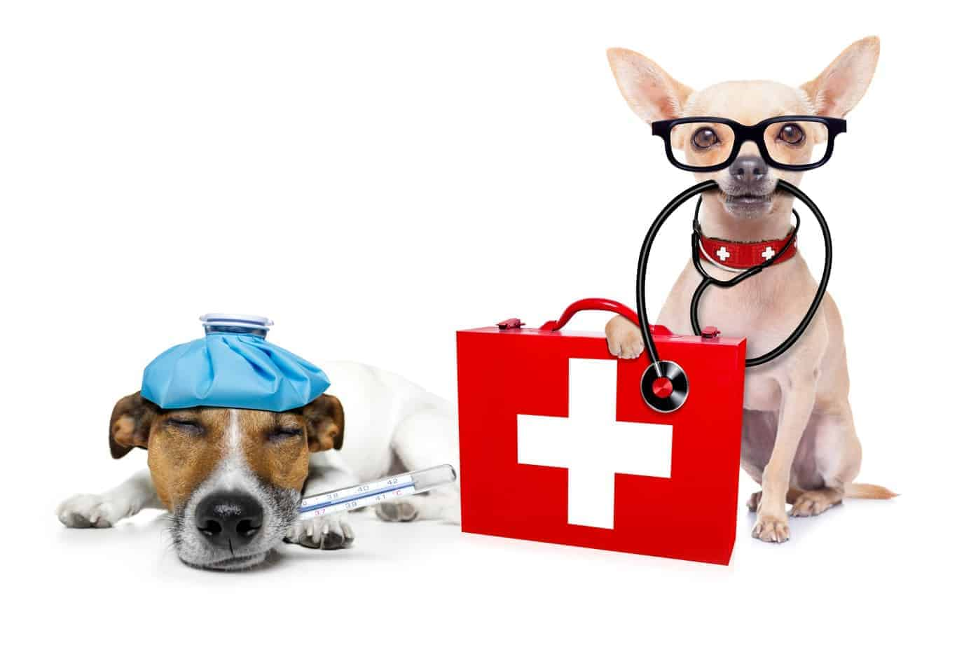 Plan ahead so you are ready in a dog medical emergency. Start by preparing a first aid kit. Jack Russell terrier with thermostat lies next to chihuahua wearing stethescope with paw on first aid kit.