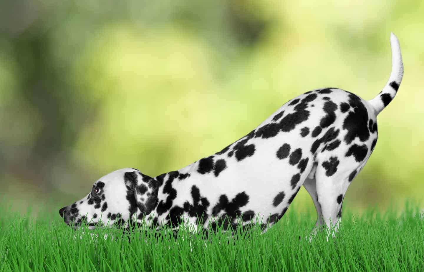 Dalmatian enjoys yard using a pet containment system. Pet containment systems offer an alternative to traditional fences meant to safeguard your pet.
