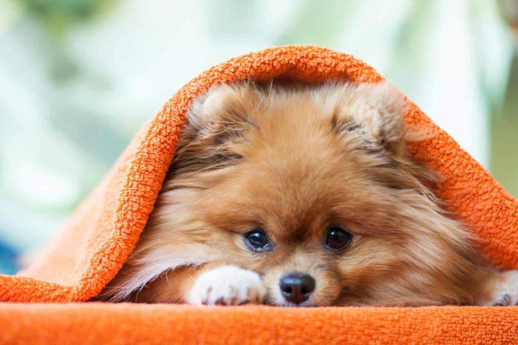 celebrity Pomeranian owners