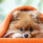 Famous Poms: Find out which celebrities own Pomeranians