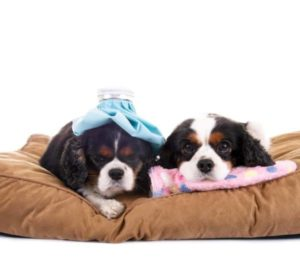 More employers are offering paid leave to care for sick pets like these cavalier King Charles spaniels.