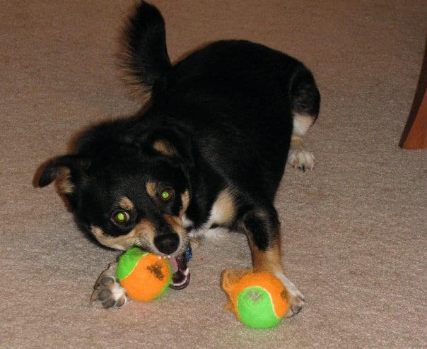Sydney plays with two tennis balls. How your dog plays reveals her canine temperament. There are three basic canine temperament groups: Assertive/Aggressive, Neutral and Passive.