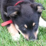adopt a dog like baby Sydney, an adorable Australian shepherd-corgi mix