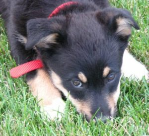 adopt a dog like this adorable Australian shepherd-corgi mix