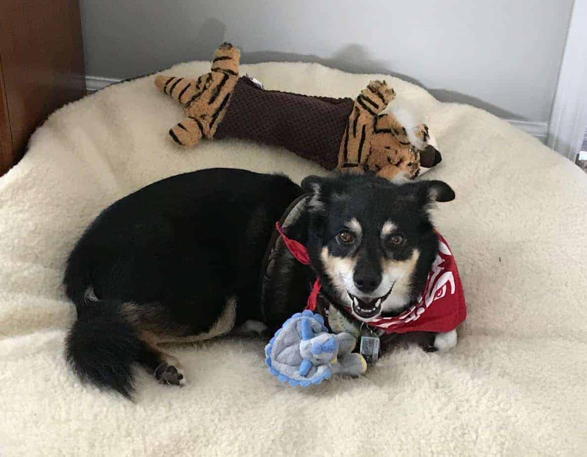 A happy Australian shepherd-corgi mix relaxes on a big dog bed with two stuffed toys. Using CBD oil for dogs can alleviate chronic pain from diseases like arthritis and can ease anxiety.