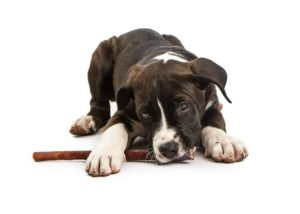Buy dog treats like bully sticks. A cute brown and white puppy chews a bully stick.