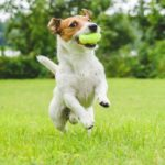 Jack Russell terrier plays fetch in a dog-friendly yard.