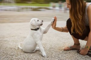 Woman gives her lab puppy a high five. To improve your relationship with your dog, use training, spend lots of quality time and feed him healthy food and treats.