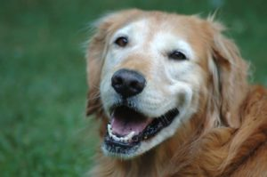 Take steps to help your aging dog like this golden retriever.