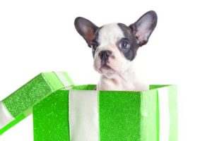 Boston Terrier pops out of a gift box. The Boston Terrier is one of the low maintenance dog breeds