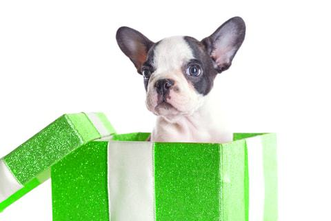 Boston Terrier is a low maintenance dog breeds