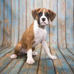 Boxer puppy looks sad. Boxers are one of five perfect dog breeds for first-time owners.