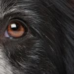 Close-up of a dog eye. Learn to recognize the signs of a dog eye infection. Veterinarians can provide treatment options to help prevent serious damage.