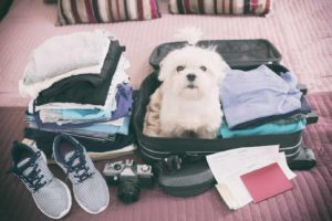 Dog sits in suitcase before trip. Common dog travel mistakes include picking the wrong time to travel, failing to properly restrain your dog and forgetting to update your dog's microchip.