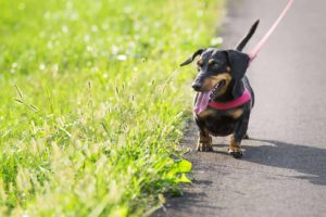 Dachshund wearing harness is ready for his walk, find your favorite spot for dog walks.