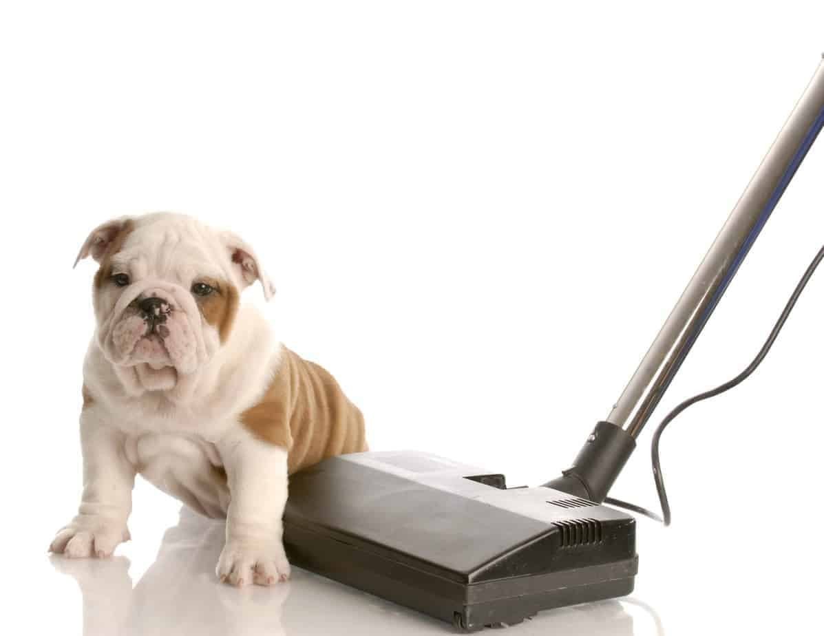 Bulldog puppy sits on vacuum cleaner. To control dog fur, use a pet hair vacuum cleaner.