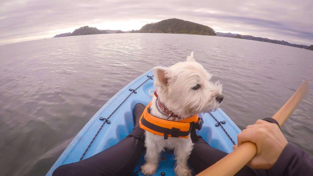 Westie wearing a life jacket sits in the front of a kayak. Kayak with your dog: Keep your dog safe by getting a life jacket making sure there's enough space in the kayak for your pup.