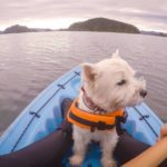 Westie wearing a life jacket sits in the front of a kayak. Kayak with your dog: Keep your dog safe by getting a life jacket making sure there's a enough space in the kayak for your pup.