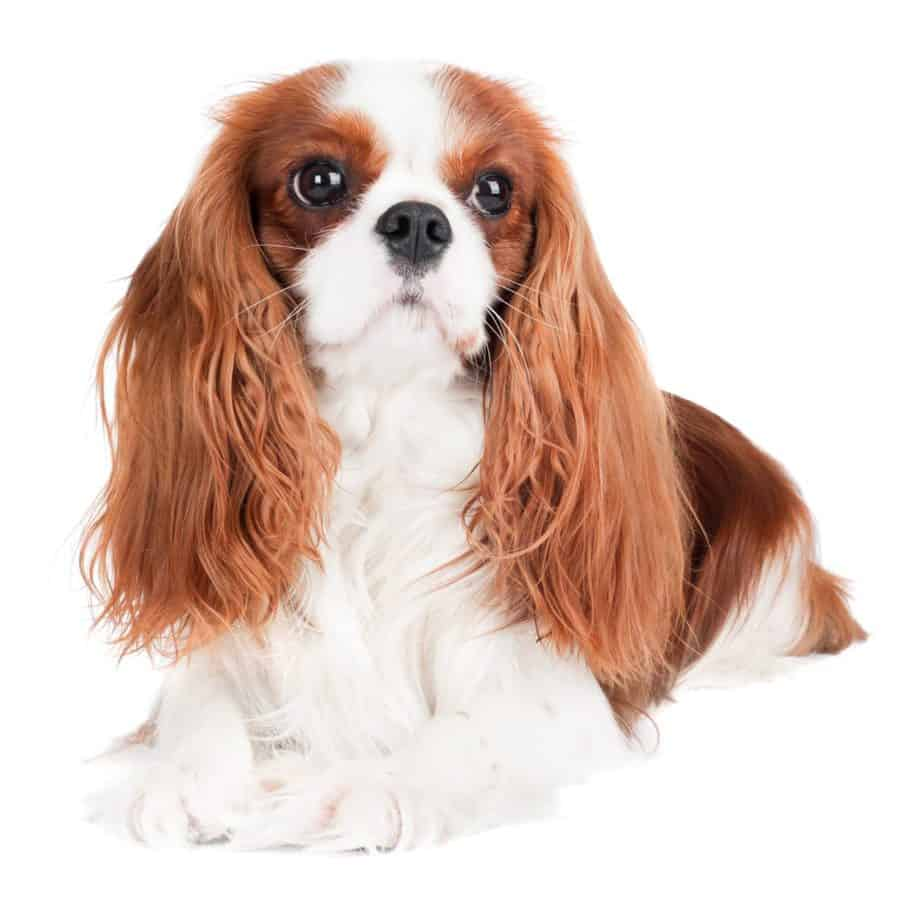 Cavalier King Charles Spaniel on a white background. The Cavalier King Charles Spaniel is one of the low maintenance dog breeds