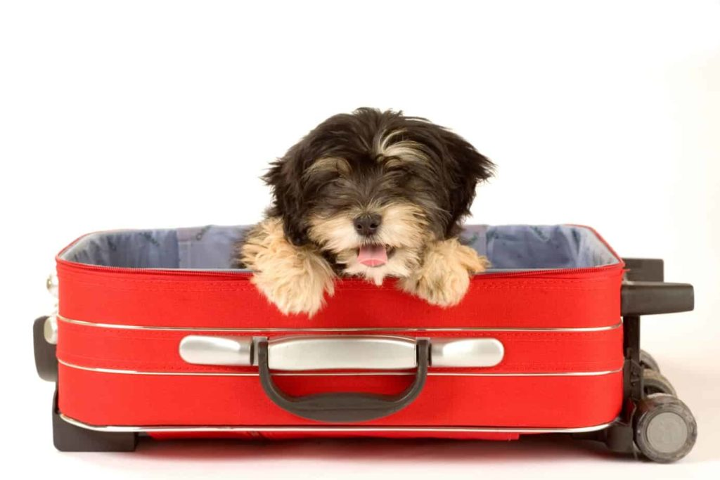 Dog sits in suitcase. Vacation dog care: Make arrangements to keep your dog safe while you travel. Consider a pet sitter, boarding or leaving your dog with a friend.